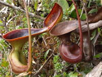 Nepenthes-sp..jpg
