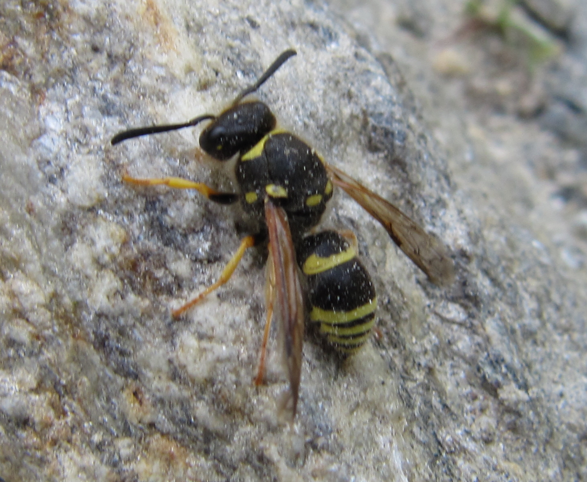 Ancistrocerus sp.JPG