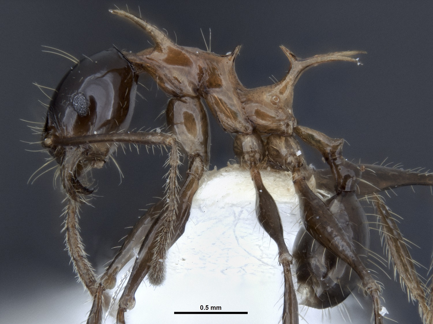 Pheidole-drogon-side-view.jpg