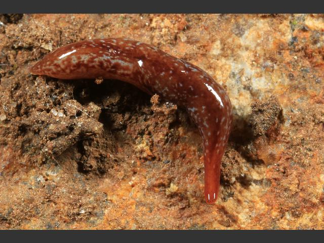 worm_flatworm_marionfyfea_adventor_17-05-13_6.jpg