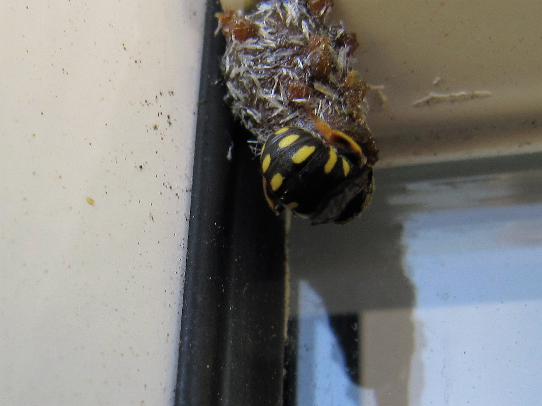 Anthidium strigatum.JPG