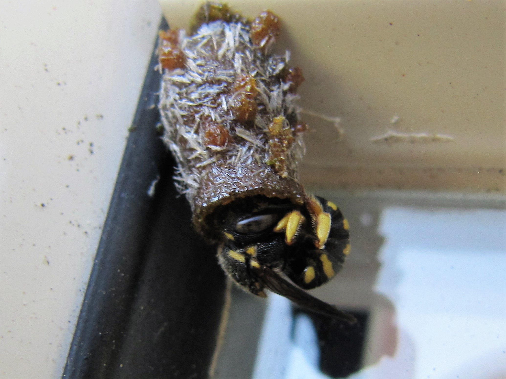 Anthidium strigatum am Nest.JPG